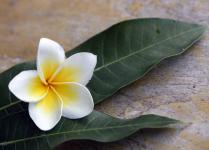 fleur de lotus.jpg